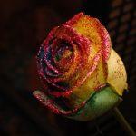 虹色の薔薇。